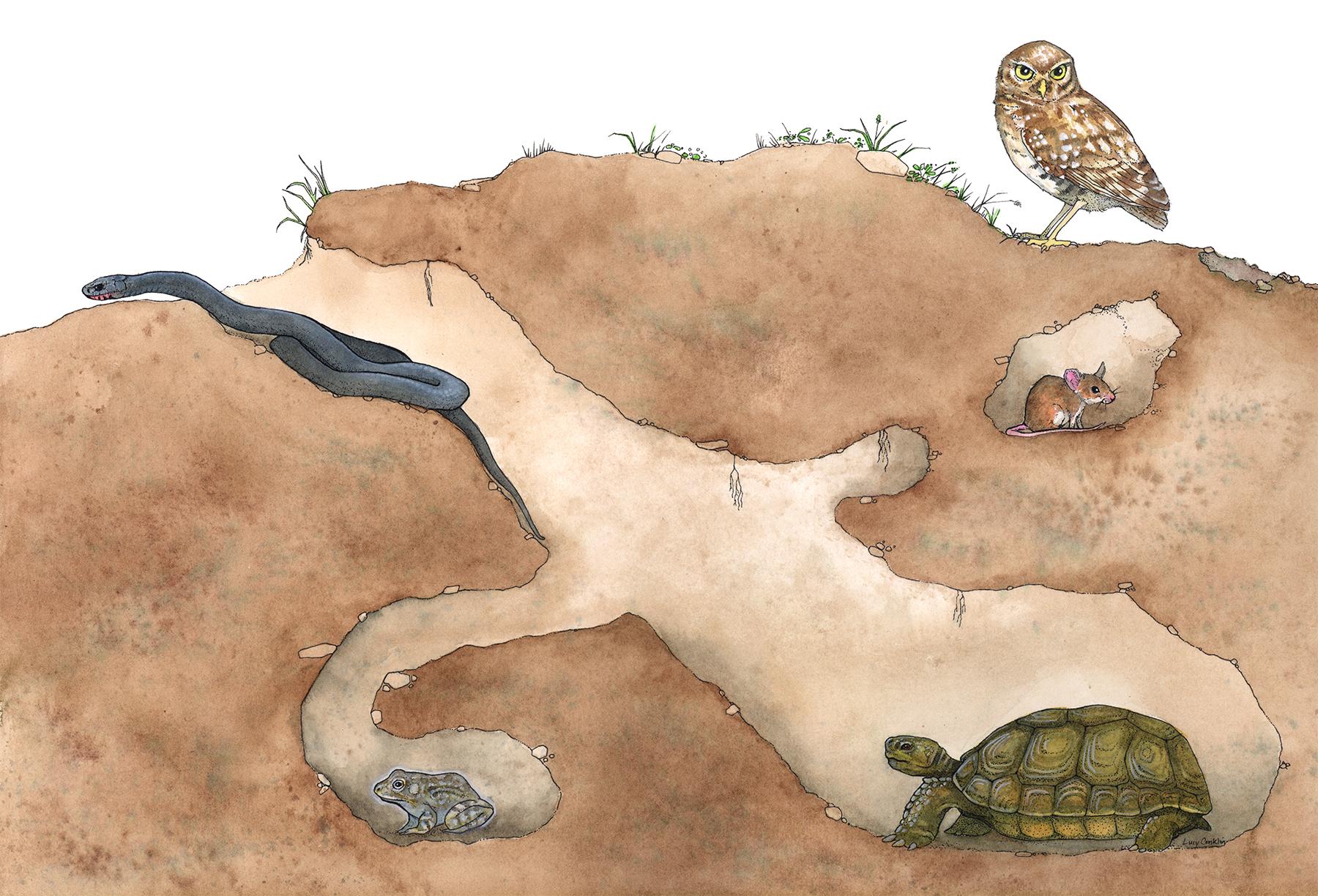 lucy conklin illustration gopher tortoise burrow